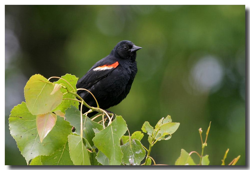 6-11-06 Redwinged Blackbird 23