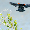 Red-Winged Blackbirds :