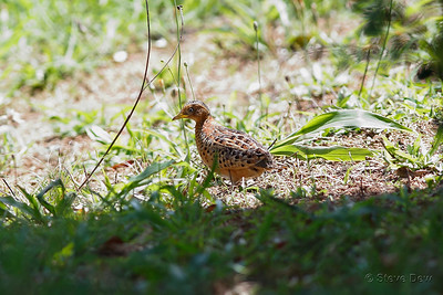 Red-backed Button-Quail - Female