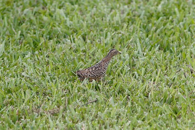 Red-backed Button-Quail - Male