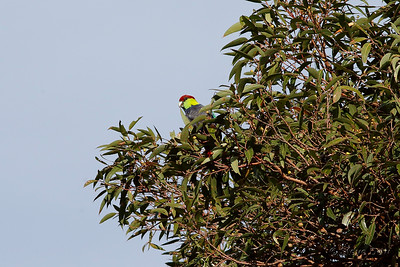Red-capped Parrot - Male