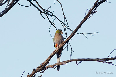 Red-capped Parrot - Female