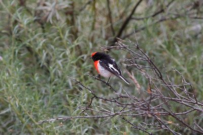 Red-capped Robin - Male