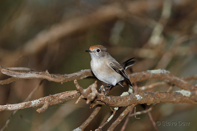 Red-capped Robin - Female