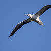 Red-footed Booby