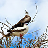 Red-footed Booby and Magnificant Frigatebird