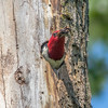 Redheaded Woodpecker Nest 0027