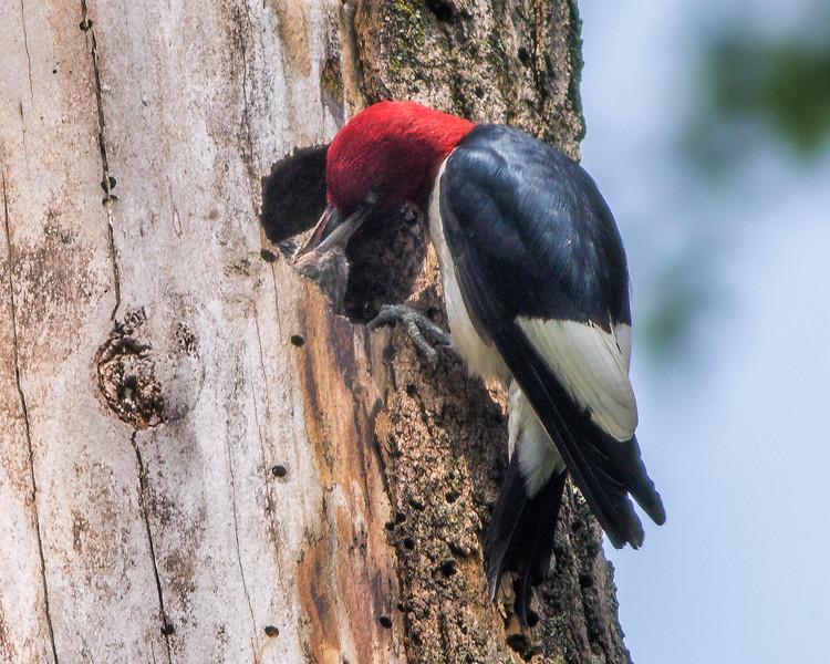 Redheaded Woodpecker Nest 0098