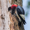 Redheaded Woodpecker Nest 0098