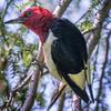 Redhead Woodpecker 0818