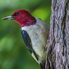 Redhead Woodpecker 0246