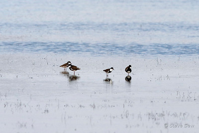 Red-kneed Dotterels