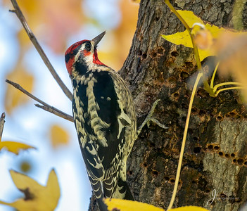 Red naped Sapsucker