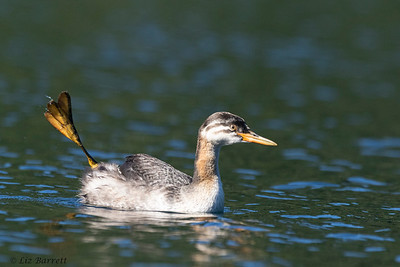 202A7643_Red-necked Grebe _juvenile