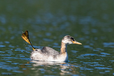 202A7643_Red-necked Grebe foot