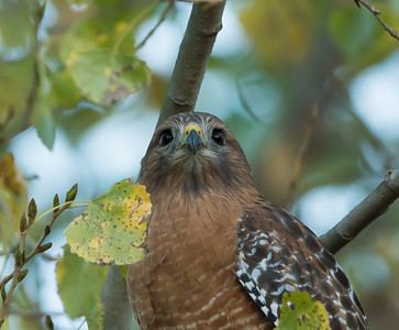 Red-shouldered Hawk (Buteo lineatus) at dusk after a little dinner, SBWR, 11-Nov-2012.