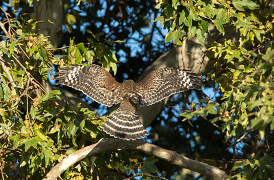 Red-shouldered Hawk (Buteo lineatus elegans) eyas juvenile. Two siblings didn't show for the usual rendezvous this evening