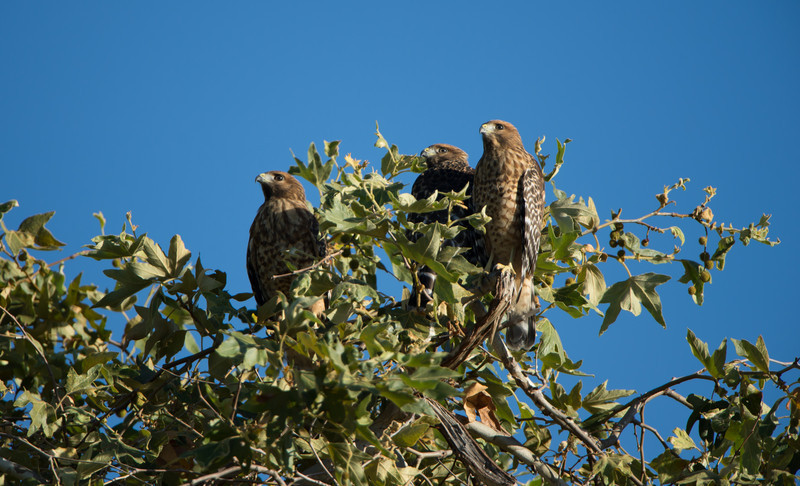 Former residents of the Sepulveda Basin's South Reserve, 28-June-2012. Young (eyas) Red-shouldered hawk rendezvous.