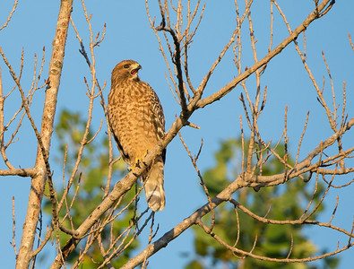 Young Red-shouldered Hawk (Buteo lineatus elegans) calling on third day for siblings to rendezvous, with no return calls by sundown. He/she is now on his/her own.