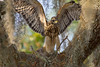 Juvenile testing his wings