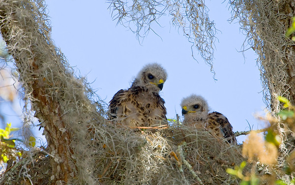 Two young juveniles peering over the nest edge.