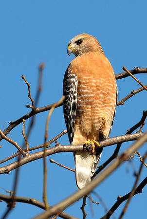 Red-shouldered Hawk/ Sharp-shinned hawk