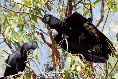 Red-tailed Black-Cockatoos