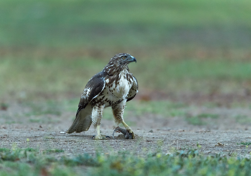 Red-tailed hawk at 5-6 months.