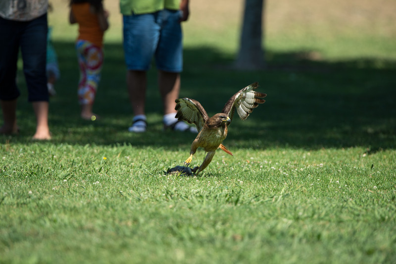 Red-tail rises from rabbit with concern over bystanders and protective kingbirds.
