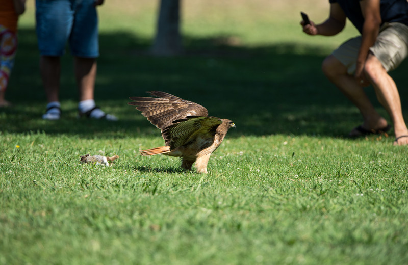 Red-tail then leaves the rabbit to fend off bystanders getting too close for comfort
