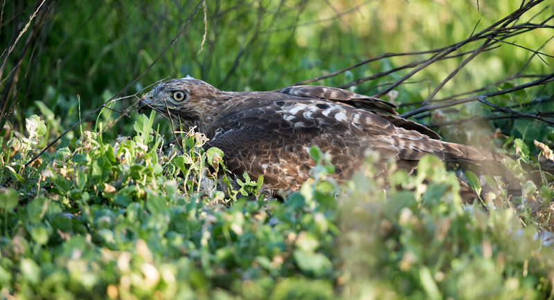 Note that the Red-Tail is comfortable with me, however, something else is troubling him.