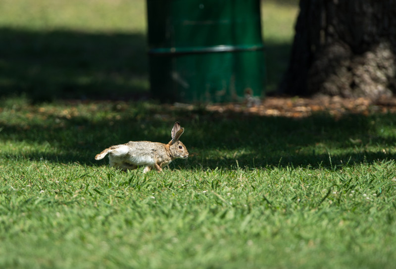 Rabbit during successful escape from red-tailed hawk
