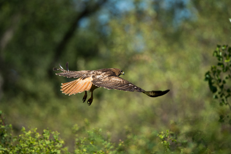 Red-tail continues pursuit into the nearby bushes