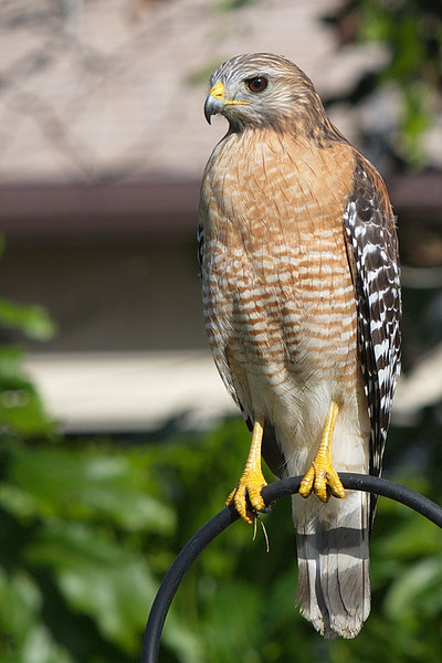 This is our neighborhood red-shouldered hawk sitting on our bird-feeder shepherd's crook in good sunlight.
