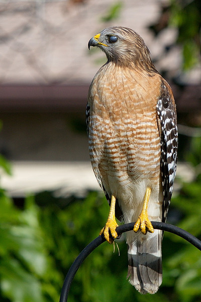 "Same as the prior photo, but here the hawk has its nictitating membrane drawn across its eye. See <a href=""http://en.wikipedia.org/wiki/Nictitating_membrane"">http://en.wikipedia.org/wiki/Nictitating_membrane</a> for an explanation of a nictitating membrane."