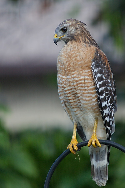 A cloud obscures the sun, so there is now no shadow on the hawk's tail feathers, clearly showing its two wide tail bands.