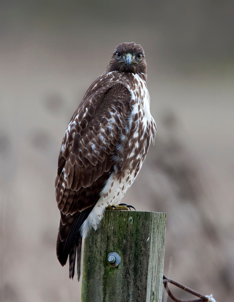 Red-tailed Hawk Close-ups