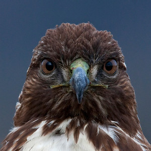 Close-up of Red-tailed Hawk Staring