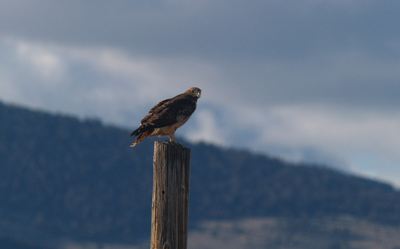 BJ 06FB1790<br /> Red-tailed hawk (Buteo jamaicensis) <br /> <br /> Photo taken near Glen MT.