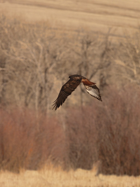 BJ 06MR2405<br /> Red-tailed hawk (Buteo jamaicensis) in flight. <br /> <br /> Photo taken near Glen MT.