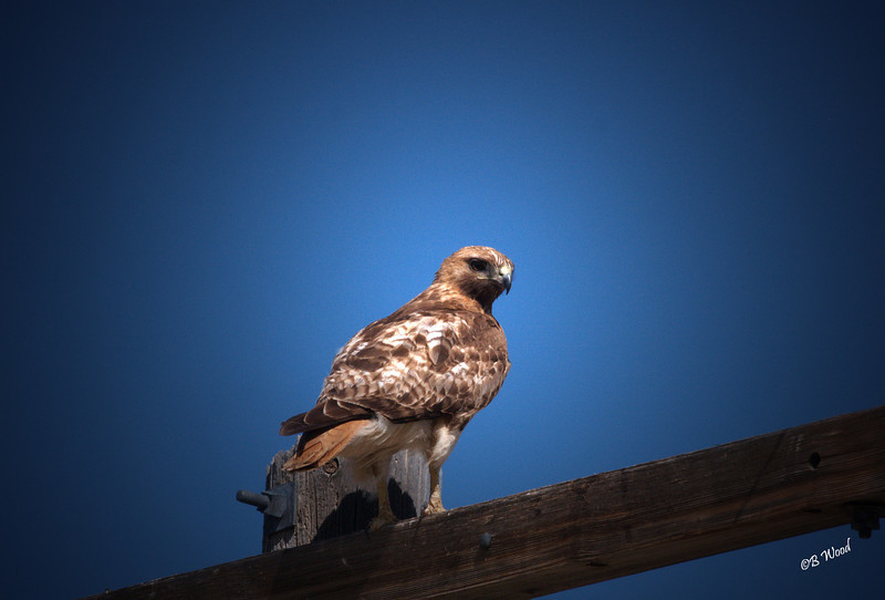 BJ 08MY8005 Red-tailed hawk