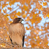 Red-tailed Hawk at Covington Park,Morongo,CA