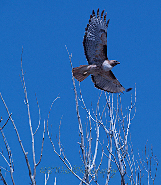 BJ 09AP4833<br /> <br /> Red-tailed Hawk in flight.