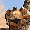 Red-tailed Hawk mating at Covington Park,Morongo,CA.