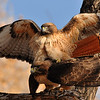 Red-tailed Hawk : At Big Morongo Canyon Preserve and at Covington Park,you can find several species of