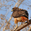 Red-tailed Hawk at Covington Park,Morongo,CA.