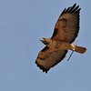 Red-tailed Hawk building a nest at Covington Park,Morongo,CA.
