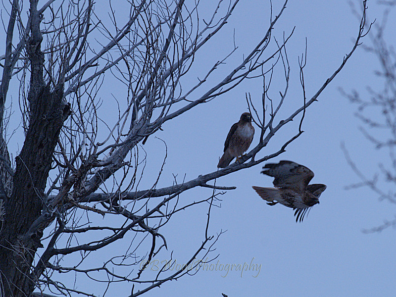 BJ 09AP4819<br /> <br /> Male and Female Red-tailed hawk (Buteo jamaicensis)