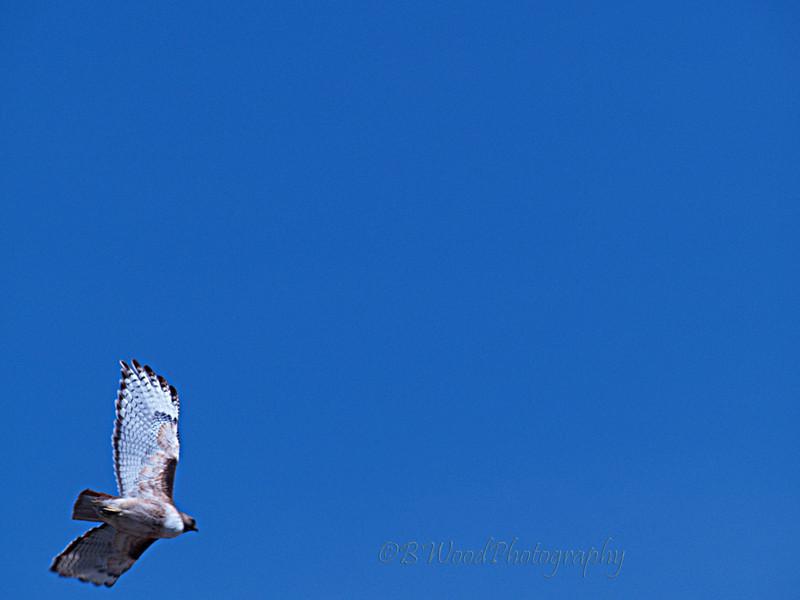 BJ 09AP4835<br /> <br /> Red-tailed Hawk in flight.