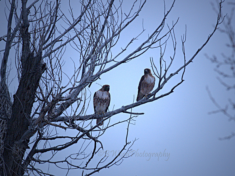 BJ 09AP4816<br /> <br /> Male and Female Red-tailed hawk (Buteo jamaicensis)